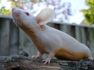 Funny Craigslist Ad #71: Dead rat finder and remover | Funny