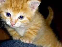 free ninja attack kitten