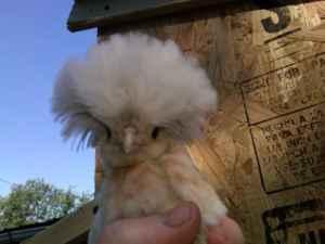polish chicken craigslist