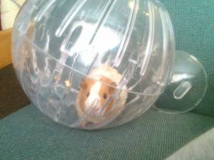 guinea-pig-craigslist